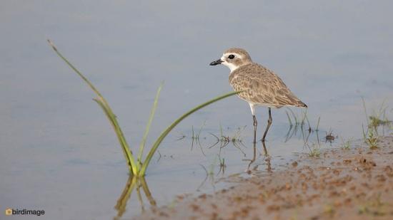 Mongoolse-plevier-Lesser-sand-plover-03
