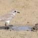 Mongoolse-plevier-Lesser-sand-plover-01
