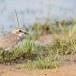 Mongoolse-plevier-Lesser-sand-plover-02