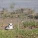 Mongoolse-plevier-Lesser-sand-plover-04