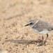Mongoolse-plevier-Lesser-sand-plover-06