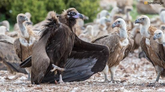 Monniksgier - Cinereous vulture 09
