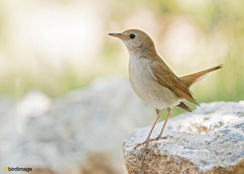 Nachtegaal - Nightingale 09