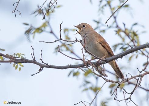 Nachtegaal - Nightingale 08