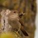 nachtegaal-nightingale-05