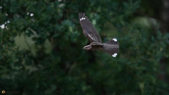 Nachtzwaluw - Nightjar 15