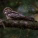 nachtzwaluw-nightjar-04