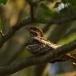 nachtzwaluw-nightjar-05