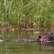 noord-amerikaanse-bever-north-american-beaver-02