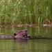 noord-amerikaanse-bever-north-american-beaver-03