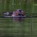 noord-amerikaanse-bever-north-american-beaver-05