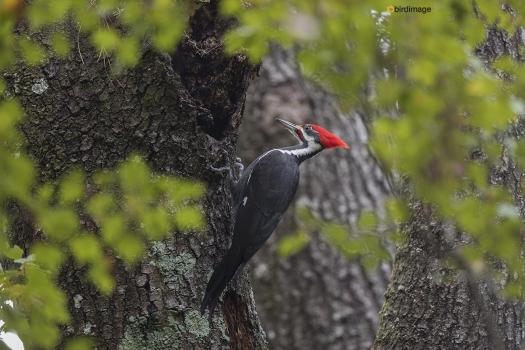 Noord Amerikaanse helmspecht - Pileated Woodpecker 005