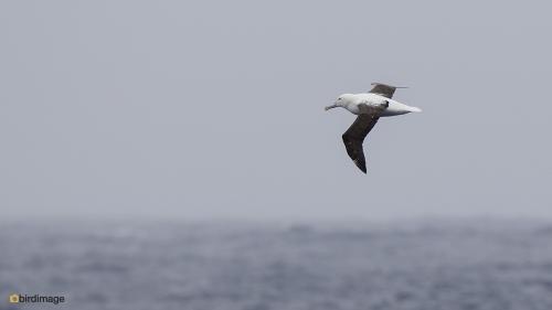 Noorderlijke koningsalbatross_Northern Royal Albatross 01