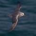 noordse-stormvogel-northern-fulmar-05