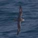 noordse-stormvogel-northern-fulmar-09