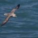 noordse-stormvogel-northern-fulmar-12