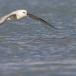 noordse-stormvogel-northern-fulmar-16