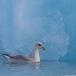 noordse-stormvogel-northern-fulmar-19