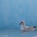 noordse-stormvogel-northern-fulmar-20