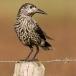 notenkraker-spotted-nutcracker-06