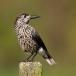 notenkraker-spotted-nutcracker-09