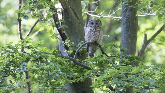 Oeraluil - Ural Owl 01