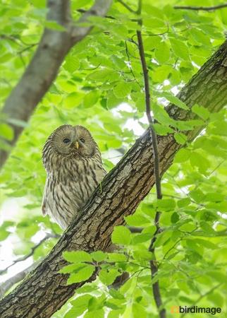 Oeraluil - Ural Owl 05