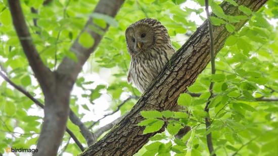Oeraluil - Ural Owl 06