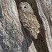 Oeraluil -  Ural Owl 10