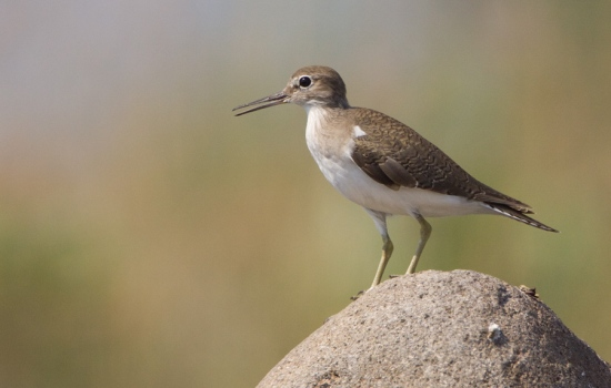 oeverloper-common-sandpiper-01