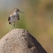 oeverloper-common-sandpiper-02