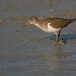 oeverloper-common-sandpiper-03
