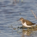 oeverloper-common-sandpiper-04