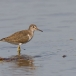 oeverloper-common-sandpiper-05