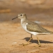 oeverloper-common-sandpiper-05_0