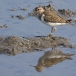 oeverloper-common-sandpiper-06