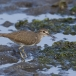 oeverloper-common-sandpiper-07