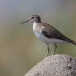 oeverloper-common-sandpiper-09