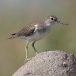 oeverloper-common-sandpiper-10