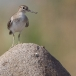 oeverloper-common-sandpiper-11