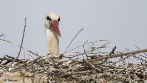 Ooievaar - White Stork 20