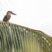 Ooievaarsbekijsvogel-Stork-billed-kingfisher-02