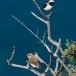 oostelijk-blonde-tapuit-black-eared-wheatear-01