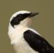 oostelijk-blonde-tapuit-black-eared-wheatear-06