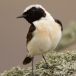 Oostelijk blonde tapuit – Eastern Black-eared Wheatear