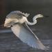 oostelijke-grote-zilverreiger-eastern-great-egret-02