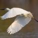 oostelijke-grote-zilverreiger-eastern-great-egret-05