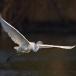 oostelijke-grote-zilverreiger-eastern-great-egret-07