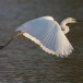 oostelijke-grote-zilverreiger-eastern-great-egret-09