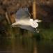 oostelijke-grote-zilverreiger-eastern-great-egret-11